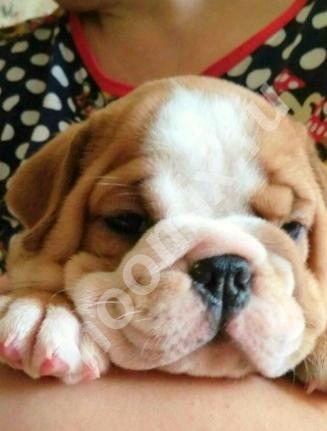 Продаю щенков Английского бульдога, Республика Удмуртия