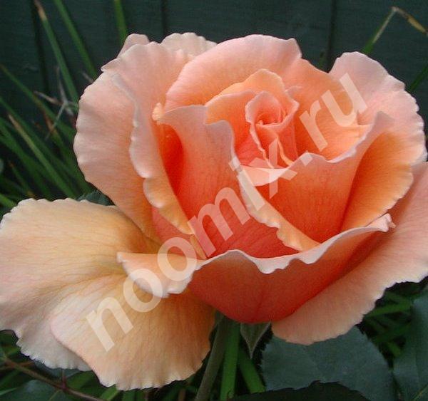 Роза Apricot Nectar из питомника., Московская область
