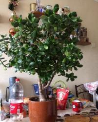 Фикус каучуконосный и денежное дерево Крассула