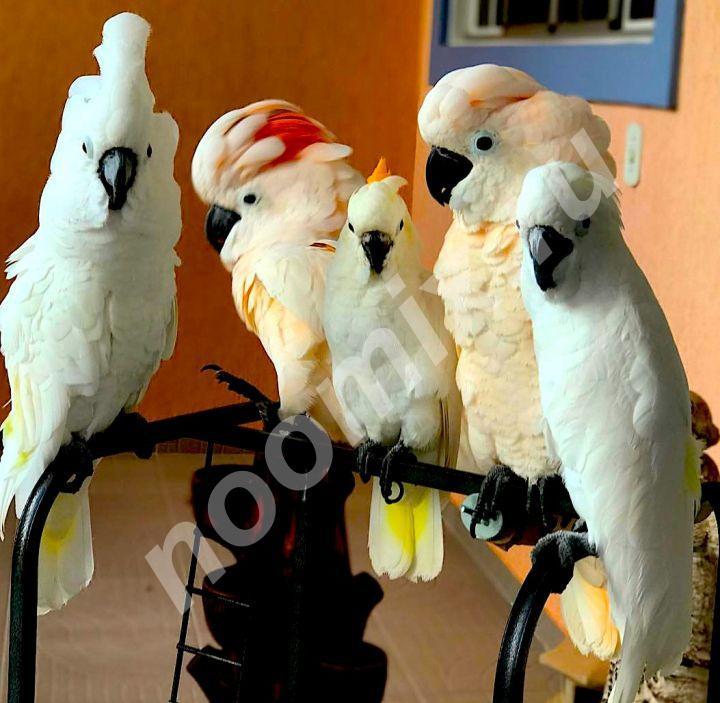 Попугаи - абсолютно ручные птенцы из питомника,  МОСКВА