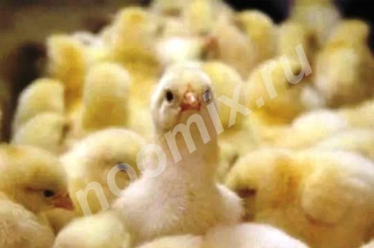 Продаю цыплят бройлеров, Республика Кабардино-Балкария