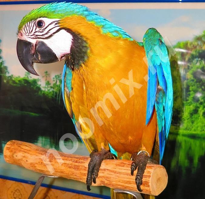 Сине желтый ара ara ararauna - ручные птенцы из питомника,  МОСКВА