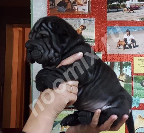 Крутые щенки шар-пея с родословной, Республика Бурятия