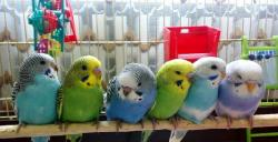 Ручных птенчиков волнистых попугаев. Певчих попуг