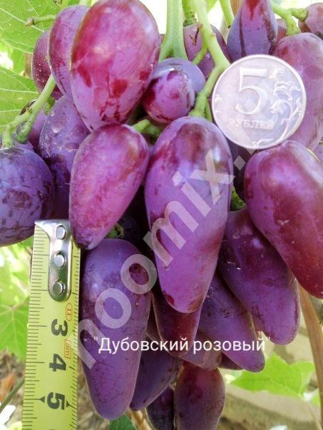 Саженцы винограда, которые не только украсят ваш сад, но и, Волгоградская область