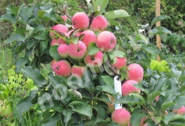 Саженцы плодово-ягодных и декоративных культур, Тульская область