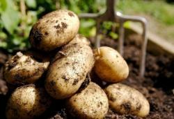 Картошка с собственного огорода