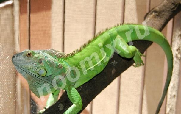 Продам зеленую игуану, Хабаровский край