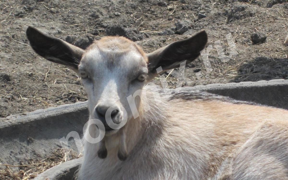Молочные козы и их детки, Омская область