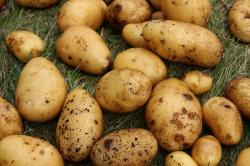 Продам картошку молодую, крупную