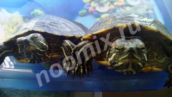 Отдам в добрые руки -2 черепах красноухая, Московская область