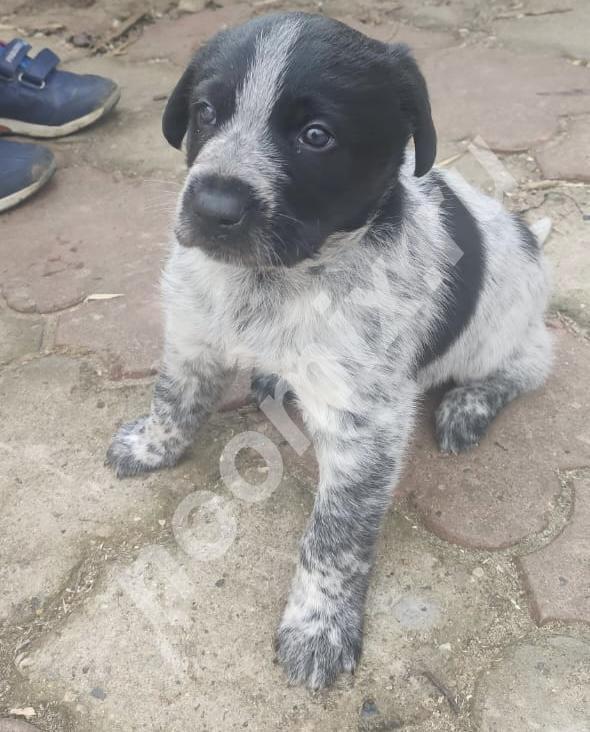 Отдам щенка дратхаара метис, Тверская область